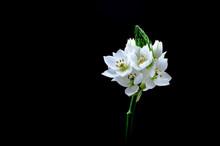 Fresh White Ornithogalum Or Star Of Bethlehem Flower Shot In A Studio Isolated On A Black Background