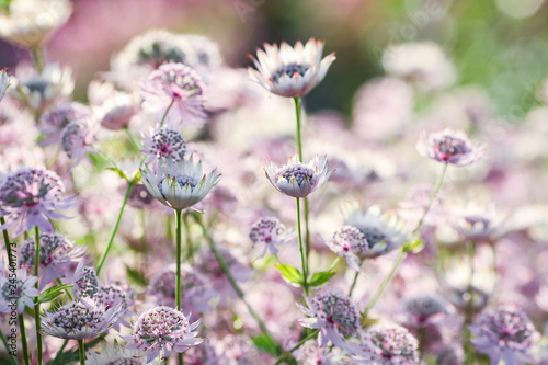 Photo Flower Astrantia major