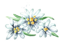 Edelweiss Flowers (Leontopodium Alpinum), Watercolor Hand Drawn Illustration Isolated On White Background