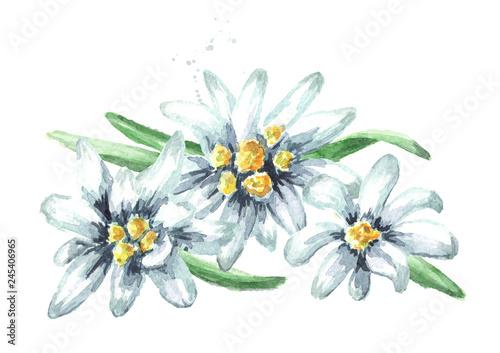 Valokuva Edelweiss flowers (Leontopodium alpinum), Watercolor hand drawn illustration iso
