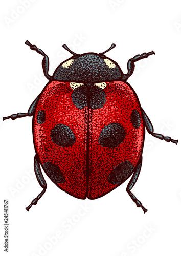 Carta da parati Ladybug illustration, engraving, drawing, ink, vector