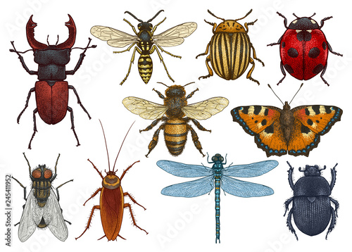 Stampa su Tela Insect illustration, drawing, engraving, ink, line art, vector