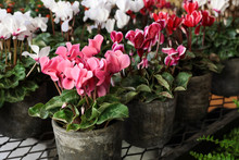 Variety Of Potted Cyclamen Per...