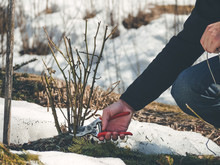 How To Winter Prune Rose Plants