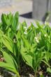 Gartengestaltung: Maiglöckchen im Pflanzkübel und mit Splitt dekoriert