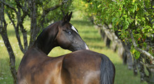 Black Blue-eyed Akhal Teke Looks Back In The Summer Alley. Horizontal, From The Back, Portrait.