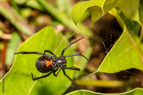 Fototapeta Pająk Czarnej Wdowy (Latrodectus mactans)