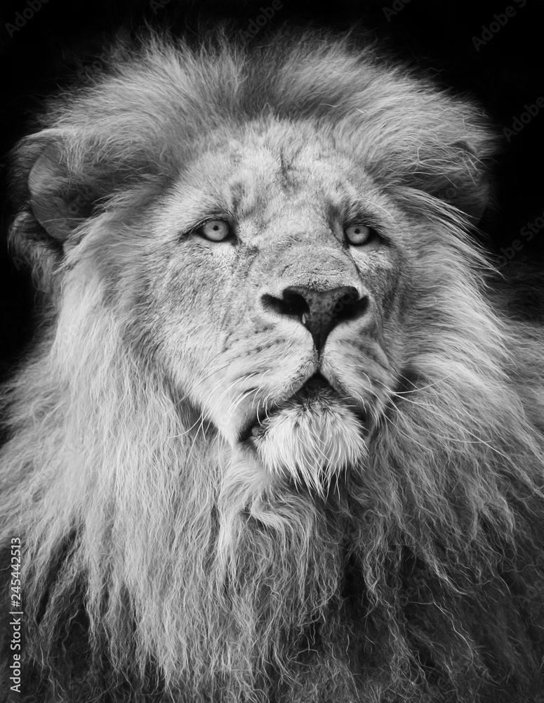 Fototapeta majestic lion Portrait in black and white;