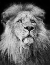 Majestic Lion Portrait In Blac...