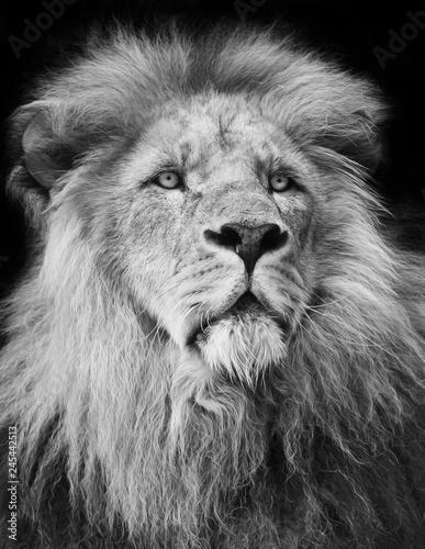 majestic lion Portrait in black and white;
