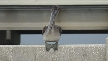 Pelican Perched Concrete Bridge