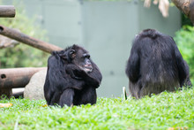 A Chimpanzee Sitting Down With Its Hands Crossed Like A Boss