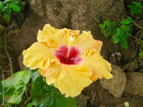 Pretty Yellow Hibiscus Flower At The Base Of A Tree Buy This Stock