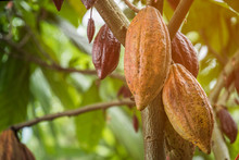 The Cocoa Tree With Fruits. Yellow And Green Cocoa Pods Grow On The Tree