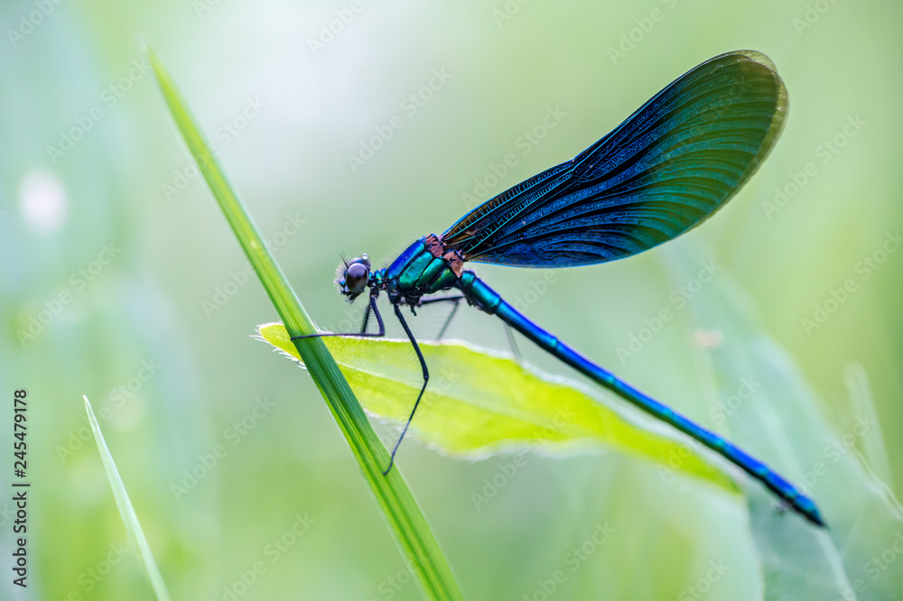 Fototapeta a beautiful dragonfly sits in the grass in a meadow