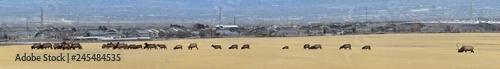Fotografie, Obraz  Bull Elk his herd harem on the Baccus Highway the Westside with view of Salt Lak
