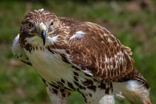Red-tailed Hawk. Buteo Jamaice...