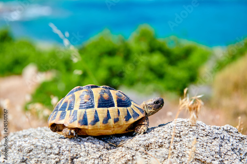 Eastern box turtle on rock