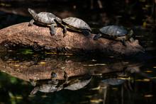 Turtle Sunbathe On The Morning