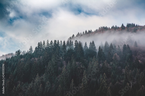 Poster Morning with fog Slope of the mountain, covered with spruce forest in the morning fog