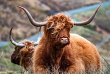 Hairy Scottish Highlander - Hi...
