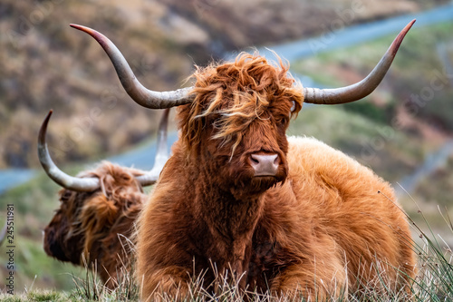 Montage in der Fensternische Cappuccino Hairy Scottish Highlander - Highland cattle - next to the road, Isle of Skye