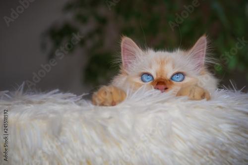 Junge Katze (Birma-Mischlng) lugt über den Rand eines Katzenbetts aus weißem Plüsch