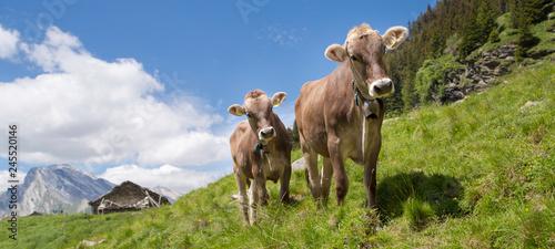 Aluminium Prints Cow Happy cows in the Alps