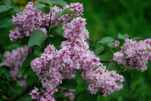 Pale Pink Lilac