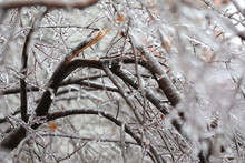 Freezing Rain. Branch Broken By Freezing Rain. Temperatures Below Freezing By The Ambient Air Mass That Causes Freezing On Contact With Surfaces.