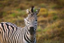 Portrait Of Zebra In South Afr...