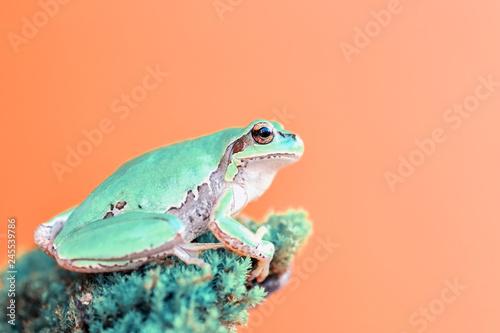 Foto op Canvas Kikker Beautiful Europaean Tree frog Hyla arborea - Stock Image