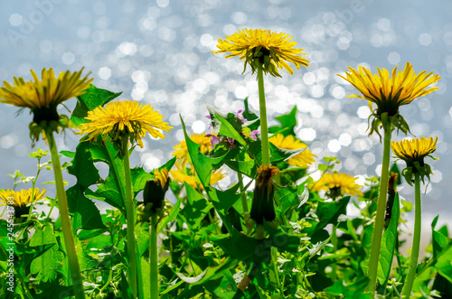 Fotografie, Obraz  Close up of blooming yellow dandelion flowers (Taraxacum officinale) in garden on spring time, with a soft focus blurred background of a lake