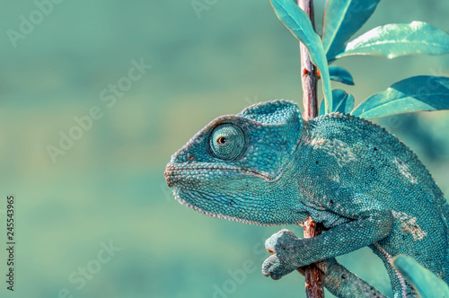 Spoed Foto op Canvas Kameleon Beautiful green chameleon - Stock Image