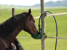 Young Horses Drink In The Pasture From A Potion At The Pasture Fence..