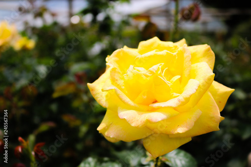 Blooming yellow flower on blurred background