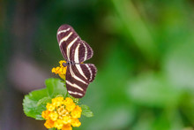 Zebra Longwing Butterfly (Heliconius Charithonia), With Open Wings On A Yellow Asclepia Flower