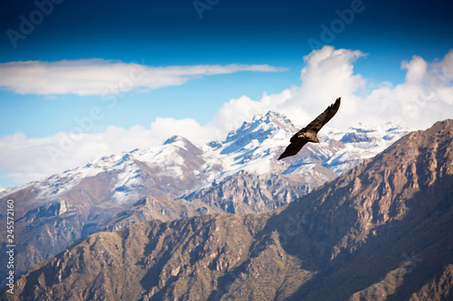 Photo Andean Condor flying over the Colca Canyon in Peru