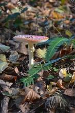 Amanite Tue-mouches (Amanita Muscaria)