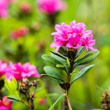 Rosa Blühende Alpenrose