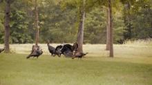 Proud Strutting Wild Turkeys