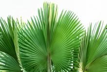 Fiji Fan Palm.