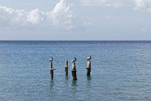 Pelicans Resting On A Post In The Caribbean Sea - Martinique FWI