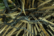 Closeup On A Dead Yucca Plant