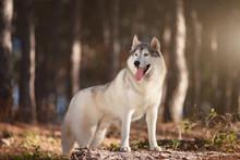 Beautiful Gray Siberian Husky ...