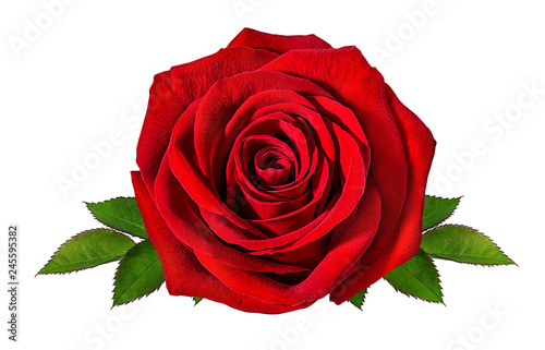 Foto op Canvas Roses Fresh beautiful rose isolated on white background with clipping path