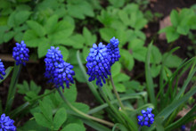 Blue Flowers Of Mouse Hyacinth Or Muscari In The Garden. Spring Floral Background. Copy Space. Selective Focus. Close-up.