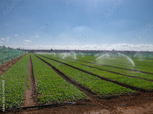 Radish field irrigation Canvas Print