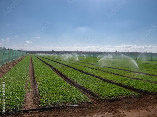 Radish field irrigation Wallpaper Mural