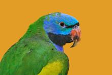 Lord Derbys Parakeet